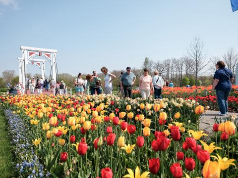 A path paved in bright buds at Tulip Time