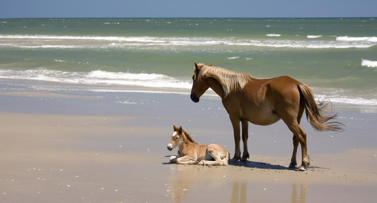 A Wild Banker Pony And Her Foal Relaxing At Ocean S Edge